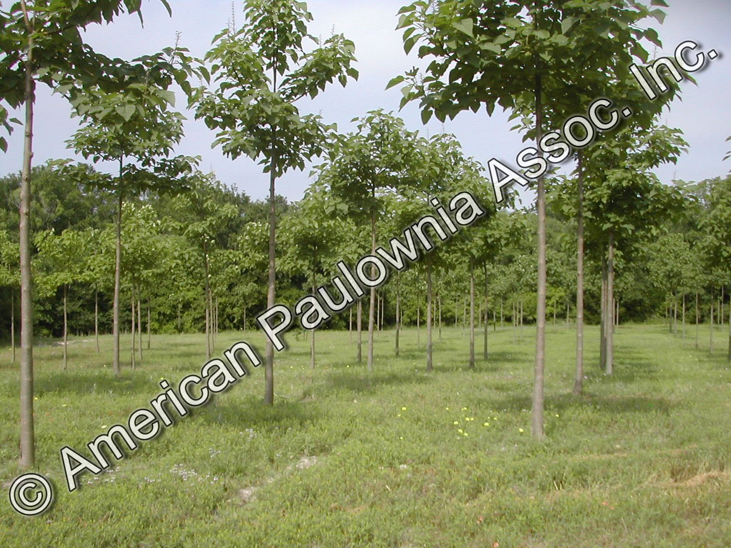 Rows of Young Paulownia Trees